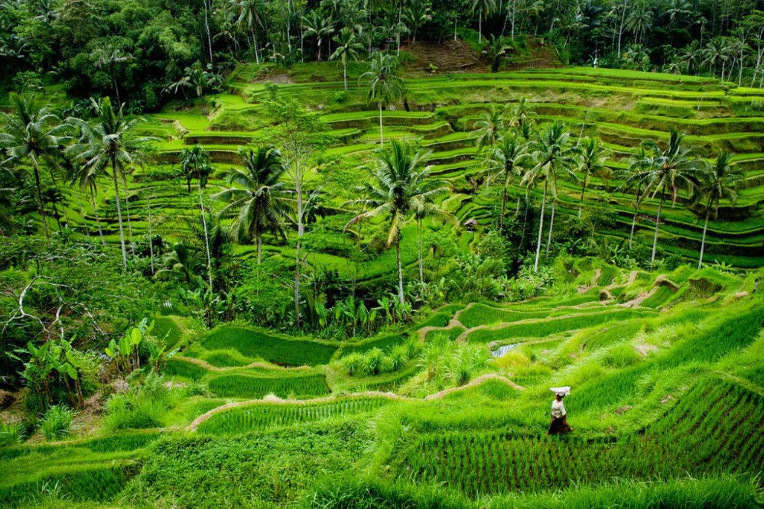 Ubud Taxi Driver to Tegalalang Rice Terrace